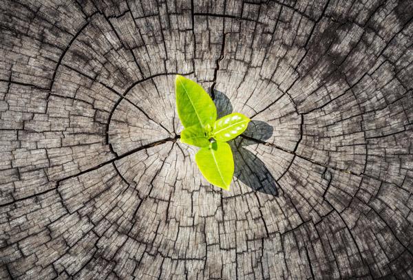 Baumkontrollen - Junge grüne Blätter auf einer alten Baumscheibe